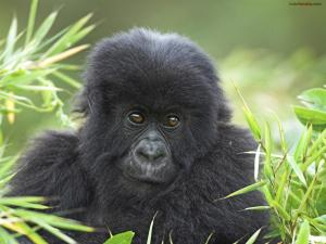 Mountain Gorilla, Volcanoes National Park (Rwanda)