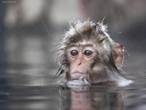 Snow Monkey (Japan)