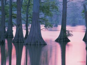 Cypress Trees, Horseshoe Lake (Illinois)