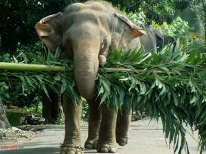 Elephant carrying a tree
