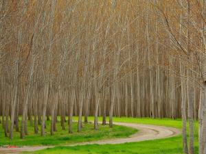 Poplar Trees, Boardman (Oregon)