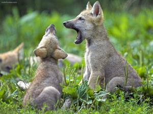 Young wolf cubs