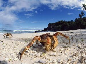 Coconut crabs (Christmas Island)