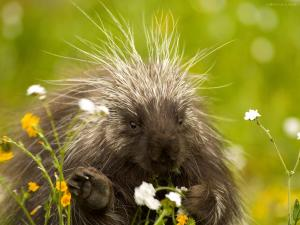 Porcupine eating flowers