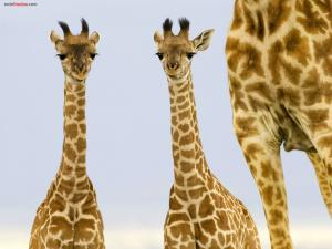 Two young giraffes