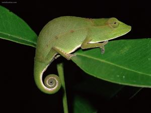 Chameleon at night
