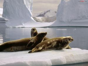 Seals at the South Pole (Antarctica)