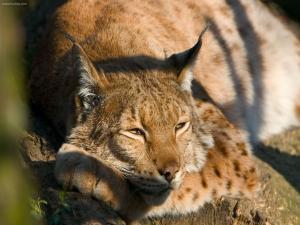 Boreal Lynx