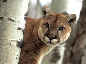 Wild cougar