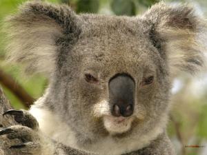 A somnolent koala