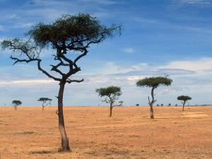 Acacias in Kenya