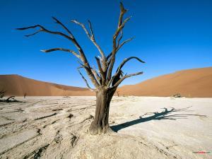 Dry tree (Namib-Naukluft National Park)