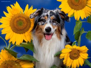Dog between sunflowers