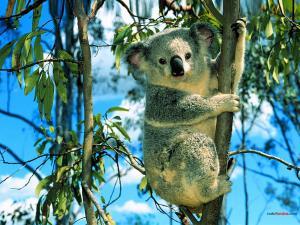 Koala climbing a eucalyptus