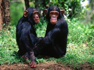 Couple of chimpanzees