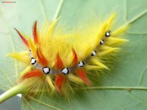 Colored hairy caterpillar