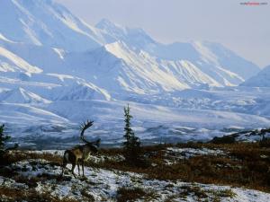 Moose in a snowy landscape