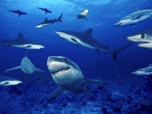 Herd of sharks