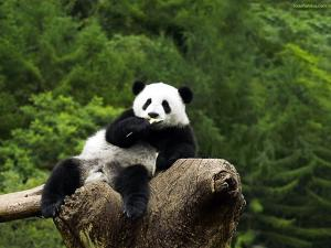 Panda bear sitting on a log