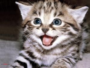 Kitten meowing