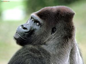 A gorilla watching you