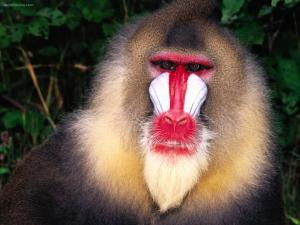 Monkey with white and red face
