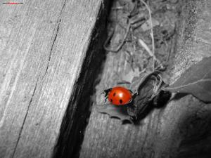 Ladybird on black and white