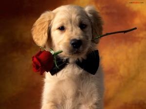 Dog with bow tie and a rose in the mouth