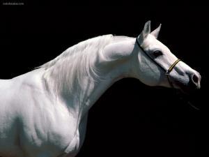 Albino white horse