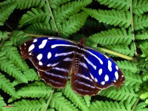 Blue and white butterfly over ferns