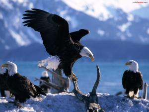 Meeting of eagles