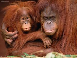 Mother and baby orangutan