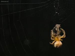 Spider devouring his prey