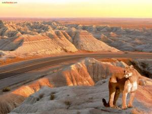 Puma vigilant