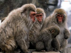 Monkeys under the snow