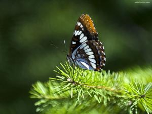 Butterfly on a pine branch
