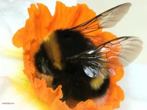 Bumblebee in an orange flower