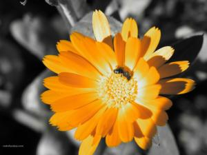 Flying insect in a yellow flower