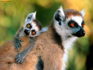 Lemurs, mother and son