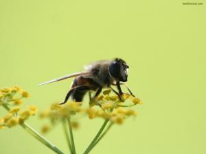 Bee sucking a yellow flower