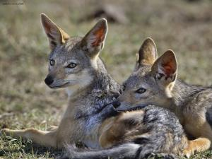 Coyotes resting