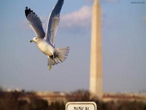 A seagull in Washington D. C.