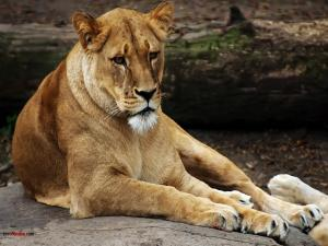 Thoughtful lioness