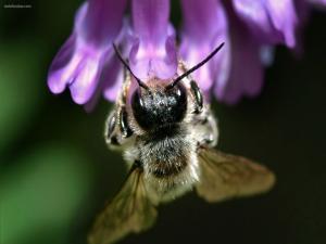 Bee sucking a purple flower