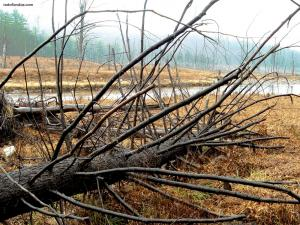 Dead trees in the river bank