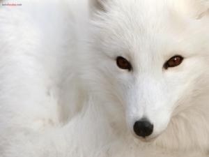 White polar fox