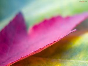 Violaceous leaf