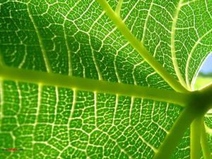 Nerves of a leaf