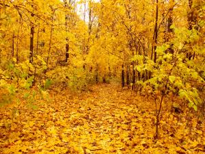A forest of yellow leaves