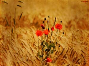 Poppies among the wheat